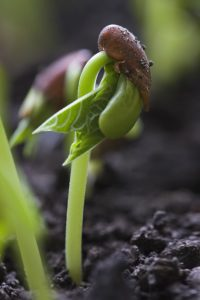 Beans sprouting from the ground