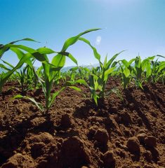 Mexico --- Rows of early-growth sweet corn plants in field. --- Image by © Scott Sinklier/Corbis